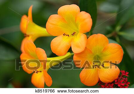 stock images of tropical rhododendron in bloom k  search, Beautiful flower
