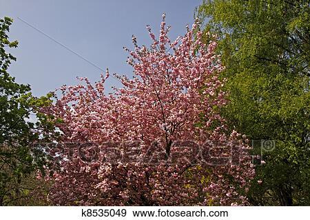 日语, 樱桃树, 德国图片
