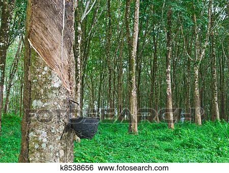 Stock Images Of Rubber Tree K8538656 Search Stock