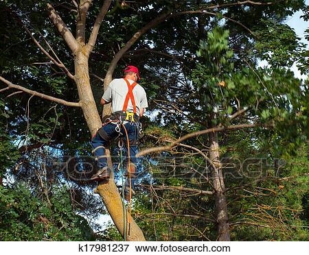 bild ein arborist deprimiert schneiden a ahornbaum. Black Bedroom Furniture Sets. Home Design Ideas