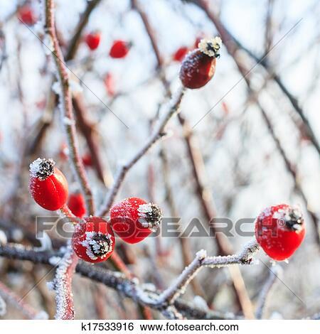 stock bilder winterbilder hintergrund rote beeren auf dass gefrorenes zweige bedeckt. Black Bedroom Furniture Sets. Home Design Ideas