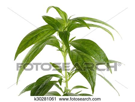 Buy	andrographis paniculata research paper