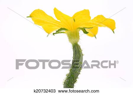 Stock Photo of cucumber flower k20732403 - Search Stock Images, Poster Photographs ...