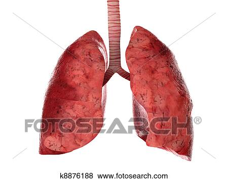 Stock Illustration Of Human Lungs And Trachea K8876188 Search Eps