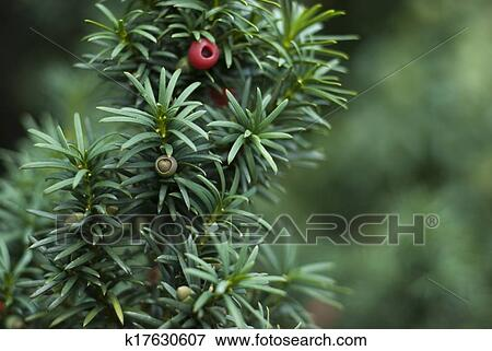 picture of close up of yew tree branch k17630607 search Owl Clip Art High Resolution Wrestling Graphics High Resolution
