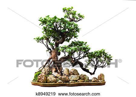 Banque de photographies arbre vert bonsai blanc - Bonsai arbre prix ...