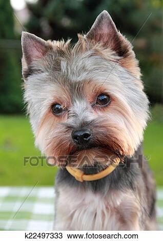 Banque de Photo , doux, chiot, yorkshire terrier, après, après, a, visite, à, les, coiffeur
