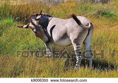 Archivio immagini uno zonkey uno asino e zebra for Asino e cavalla