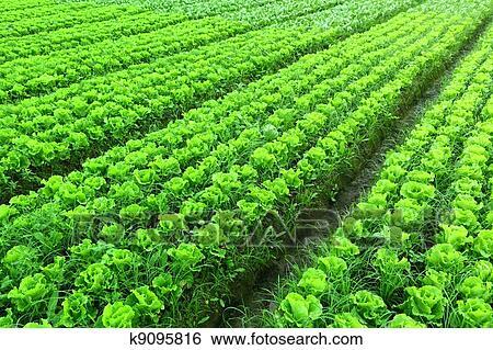 Фото салата растущего на грядке