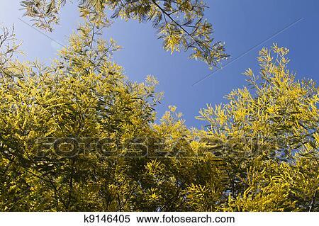 Archivio immagini acacia albero k9146405 cerca for Acacia albero