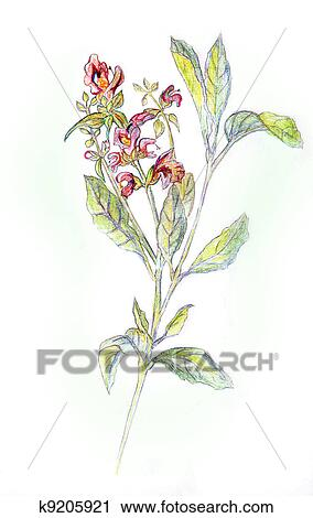 Clipart salvia officinalis disegno matite k9205921 for Salvia da colorare