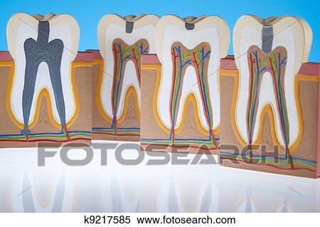 羊的牙齿结构图片