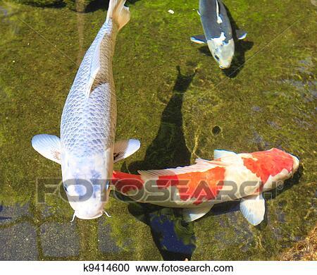 Stock photography of koi fish asian carp in the pond for Japanese friendship garden san jose koi fish