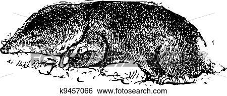 Clip art comune talpa ratto o cryptomys hottentotus for Talpa mammifero