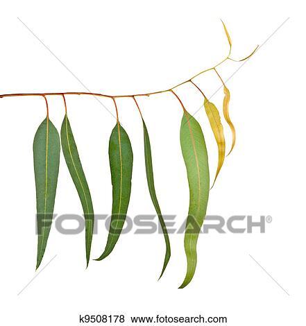 Images eucalyptus branche k9508178 recherchez des - Branche d eucalyptus ...