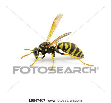 Image - guêpe. Fotosearch - Recherchez des Photos, des Images, des Photographies et des Clips Arts