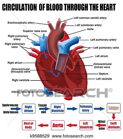 Clip Art of Circulation of blood through the heart ...
