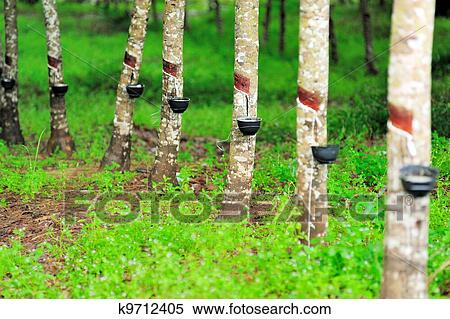 Stock Image Of Rubber Tree K9712405 Search Stock Photos