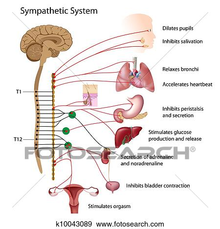 Clip Art of Sympathetic pathway of the ANS k10043089 ...