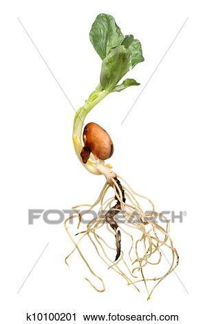 蚕豆茎的初生结构图