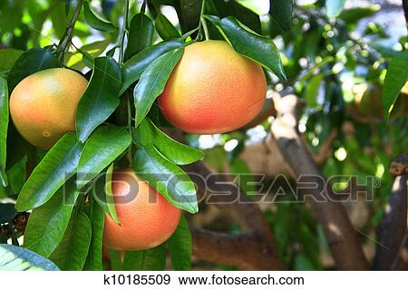 grapefruit tree stock photo images.  grapefruit tree royalty, Natural flower