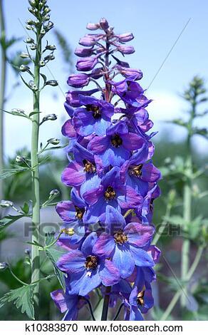 stock fotografie rittersporn blume in dass botanische garden k10383870 suche. Black Bedroom Furniture Sets. Home Design Ideas