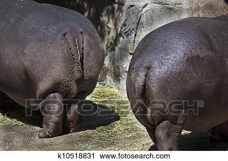 Жопа бегемота фото