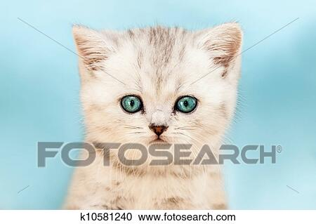 动物, 宠物, 很少, 英国人, 国内, 银, 斑猫猫, 带, 蓝色, 看, 眼睛图片