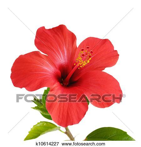 Immagine rosso ibisco k10614227 cerca archivi for Ibisco rosso