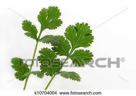 Condiment Asian plant