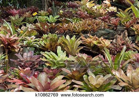 Banque de photographies bromeliad plante guzmania for Plante bromelia