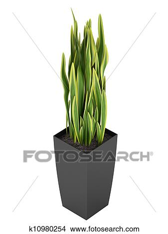 dessins sansevieria trifasciata les serpent plante k10980254 recherche de clip arts d. Black Bedroom Furniture Sets. Home Design Ideas