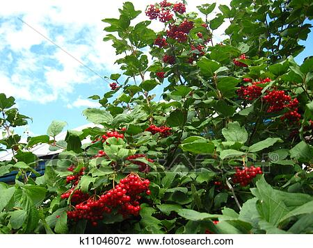 Stock Photo of Clusters of a red ripe guelder-rose k11046072 - Search Stock Photography, Print Pictures, Images, and Photo Clip