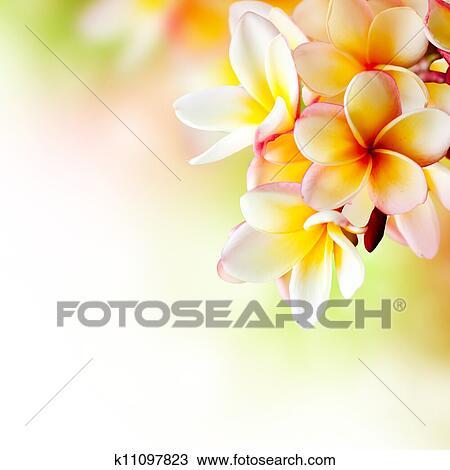 6,716 Frangipani Cliparts, Stock Vector And Royalty Free ...