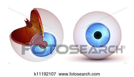 失量图库 眼睛, 解剖学, , 内部, 结构
