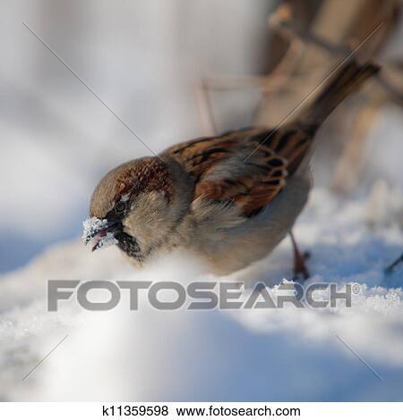 Immagini passero occhiate per cibo sotto neve for Cerca per foto