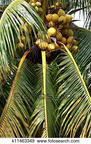 Banque de photographies palmier et noix coco dans - Palmier noix de coco ...
