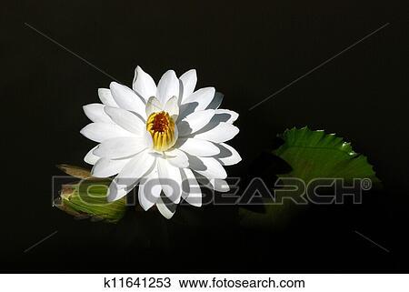 图吧- 水百合花, 在中, 黑色, 水.