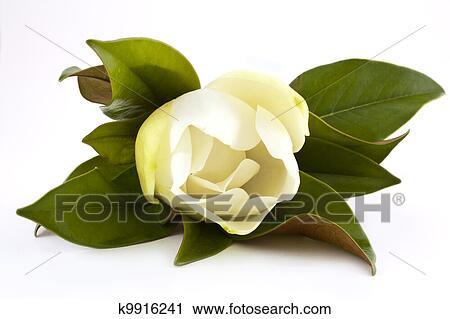 Archivio fotografico bianco magnolia k9916241 cerca for Magnolia pianta prezzi