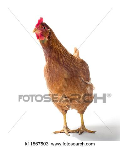 Determining the sex of a chicken