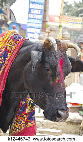 "indias sacred cow essay 15082012 the lotus, the national flower of india,  in his essay ""the secret of work"",  the bulgarian cow,."
