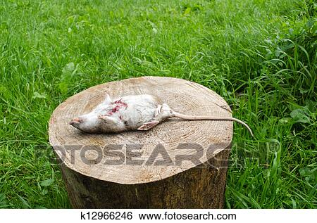 图片银行 - 死, 老鼠, 流血, 创伤, 牙齿, 躺, 树树桩, 草.图片