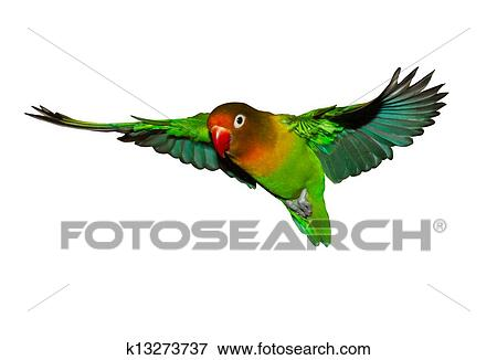 picture of flying lovebird k13273737 search stock photography rh fotosearch com love bird tree clipart love bird cage clipart