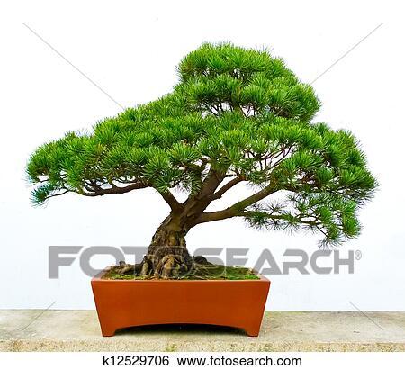 Banque d 39 images bonsai arbre pin k12529706 recherchez - Bonsai arbre prix ...