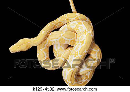 Archivio fotografico tiger pitone albino serpente for Serpente nero italiano
