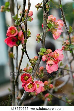 banque d 39 image buisson de fleurs de les coing arbre k13570555 recherchez des photos. Black Bedroom Furniture Sets. Home Design Ideas
