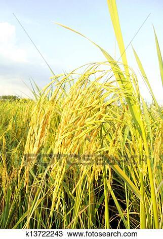 图吧- 稻米水稻. fotosearch - 搜索图象,海报,照片,图片及剪贴画照片
