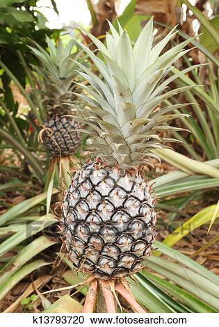 stock fotografie wachsen ananas pflanze k13793720 suche stockfotografien fotos. Black Bedroom Furniture Sets. Home Design Ideas