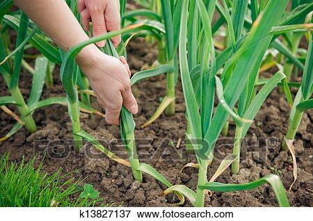 Immagine scegliere aglio pianta k13827137 cerca for Aglio pianta