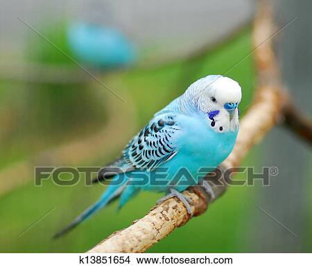 stock foto blau budgie papagai haustier vogel k13851654 suche stockbilder wandbilder. Black Bedroom Furniture Sets. Home Design Ideas
